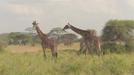 savana : CLOSE UP: Adult and young male giraffes hanging out together in wilderness on vast open savannah grassland woodland standing in tall grass on stunning sunny day in amazing Serengeti national park Stock Footage