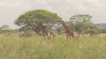 bushland : CLOSE UP: Adorable adult wild giraffas rumbling in tall grass in vast open savannah grassland and acacia woodland. Animals wandering in wilderness on stunning sunny day in Serengeti national park
