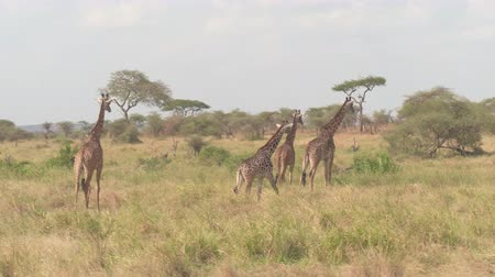 bushland : AERIAL, CLOSE UP: Adorable giraffe family walking across vast savannah grassland, stopping near small brook overgrown with riverine vegetation and gazing into the distance on stunning sunny summer day Stock Footage