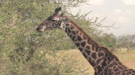 pulling off : CLOSE UP: Adorable young giraffe takes a thorny acacia tree branch in its mouth and tears off the leaves by pulling its head away. Cute giraffa feeding, eating green leaves on prickly tree canopy
