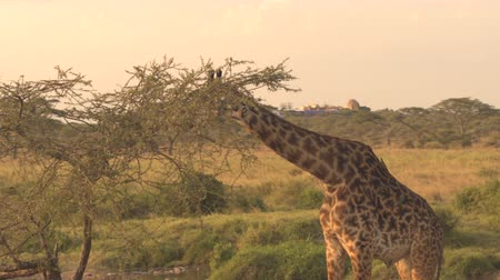 dikenli : CLOSE UP: Cute male giraffe feeding, grazing green leaves on prickly tree canopy at amazing golden light sunny morning. Birds called red-billed oxpackers sit on giraffas coat eating insects, ticks Stok Video