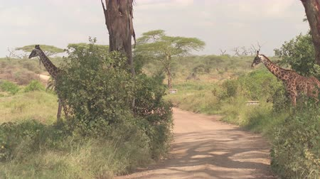 bushland : CLOSE UP: Two adorable stunning giraffes roaming in African wilderness - overgrown savannah grassland woodland, crossing dusty safari game drive route road in breath-taking Serengeti national park Stock Footage