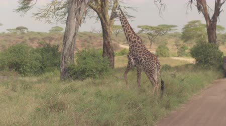 stopping : CLOSE UP: Safari jeeps on game drive stopping on dusty road, magnificent giraffe crossing their path. Excited tourists watching peaceful wild animal in beautiful scenery of African savannah woodland Stock Footage