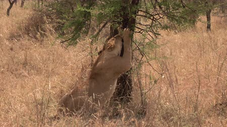 dikenli : CLOSE UP: Stunning peaceful lioness nuzzling against tree trunk, rubbing her head and muzzle. Beautiful female lion stretching out toes and back, scratching acacia bark to sharpen and clean her claws Stok Video
