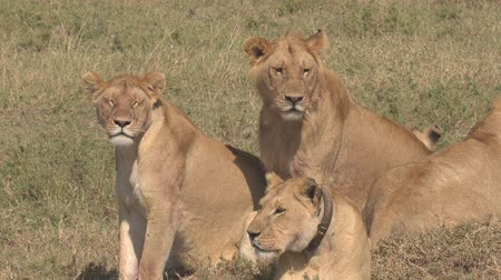 aslan : CLOSE UP: Adorable group of adult and young lions lying on sunny savannah grassland field looking for pray. Alpha lioness in safari game reserve wearing GPS tracking device for wildlife monitoring
