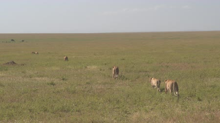 gato selvagem : CLOSE UP: Beautiful lionesses walking in straight line across never-ending African field in open savannah grassland in sunny wilderness. Mighty wild cats patrolling slowly across grassy veld flatlands Stock Footage