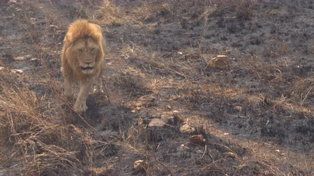 aslan : CLOSE UP: Beautiful magnificent lion walking slowly on burnt savannah grassland field in breath-taking Serengeti national park. Safari lion rambling in wilderness on sunny golden light evening Stok Video