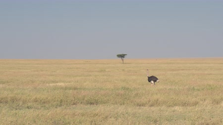 pštros : CLOSE UP: Solitaire male African ostrich with pink neck in natural environment roaming in tall dry meadow in open savannah grassland field on beautiful sunny day in wilderness, Serengeti, Tanzania