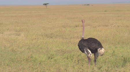 pštros : CLOSE UP: Lonely African masai ostrich standing in savannah open field, staring in the distance on stunning sunny day. Emblematic scenery of game park and treeless grassland in Serengeti plains