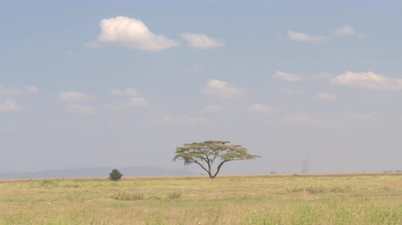 akát : Spectacular view of prickly acacia tree standing alone in the middle of endless savannah grassland landscape in Serengeti national park. Majestic tree growing under the open blue sky in sunny Africa