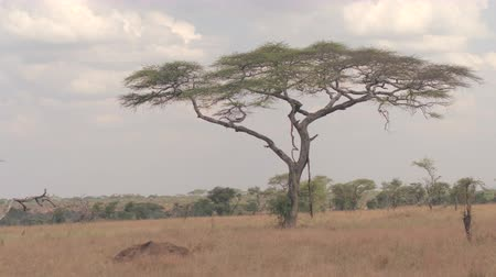 devastated : CLOSE UP: Stunning dry season savannah plain and open acacia woodland scenery in pristine African wilderness in Serengeti National Park. Dead trees denuded by grazing animals in bushveld forest Stock Footage