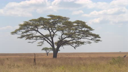 акация : CLOSE UP: Fascinating prickly acacia tree standing alone in the middle of endless savannah grassland landscape in Serengeti national park. Majestic tree growing under the open blue sky in sunny Africa