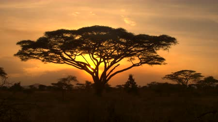 savanna : CLOSE UP: Stunning silhouetted thorny acacia tree canopy against golden setting sun in spectacular overgrown savannah grassland woodland in African wilderness. Scenic dry open woodland scenery at dusk