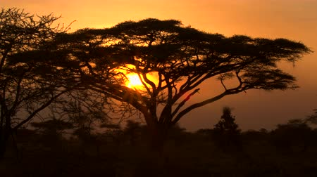 Танзания : CLOSE UP: Stunning silhouetted thorny acacia tree canopy against golden setting sun in spectacular overgrown savannah grassland woodland in African wilderness. Scenic dry open woodland scenery at dusk