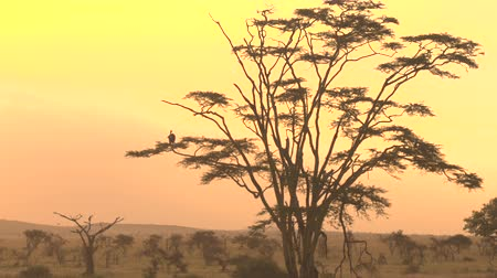 vulture : White-backed vulture sitting on a tree branch in old decaying acacia tree canopy against dreamy yellow and orange golden sky at sunset. Savanna woodland in breathtaking Serengeti plains, Tanzania