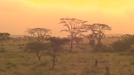 akát : AERIAL: Flying past umbrella shaped acacia tree and lush green palm trees against golden sunrise sky in spectacular overgrown savannah grassland woodland in African wilderness. Scenic woodland at dusk
