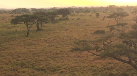 Танзания : AERIAL, CLOSE UP: Flying above lush acacia trees scattered around endless short grass savannah grassland landscape in Serengeti national park. Spectacular scenery at golden light of dawn in wilderness