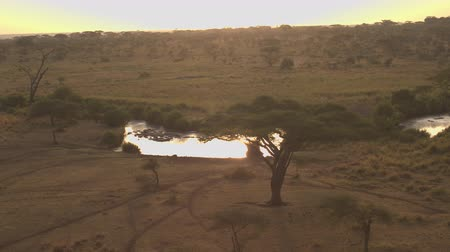 víziló : AERIAL: Flying above big herd of wild hippos bathing in small muddy waterhole. Sunshine reflecting in lake in beautiful endless Serengeti plains dotted with acacia trees at dreamy golden light sunset