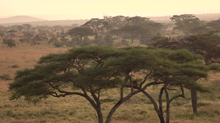 zarostlý : AERIAL: Flying above dry open acacia tree woodland and wild elephant family with baby elephants walking in line wandering in savannah grassland wilderness at misty golden light sunset in Serengeti