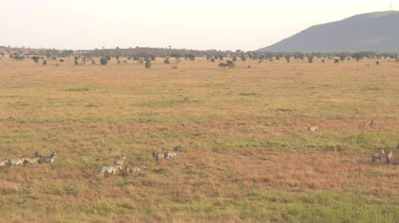 pláně : AERIAL, CLOSE UP: Flying above zebra family with infants passing savannah grassland landscape. Wild zebras running in line across vast meadow field in famous Serengeti plains at magical golden dawn Dostupné videozáznamy