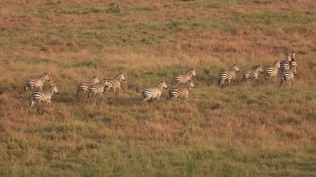 savci : AERIAL, CLOSE UP: Flying above big herd of zebras traveling across savannah grassland landscape. Wild zebras running in line on vast meadow field in famous Serengeti plains at magical golden sunset