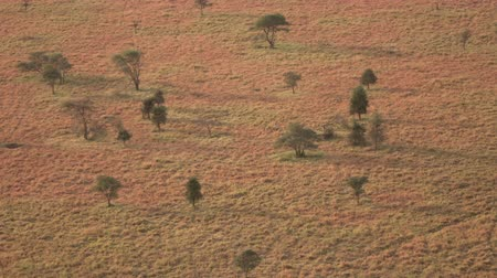 dikenli : AERIAL: Flying above beautiful dry acacia tree open woodland in sunny African savannah in famous Serengeti endless plains. Scattered trees dropping shadows on dramatic landscape at golden light sunset