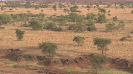 Танзания : AERIAL: Flying toward stunning dry riverbed in amazing semi-arid African wilderness during dry season. Short grass savannah fields, open acacia woodlands and denuded trees by grazing animals at sunset