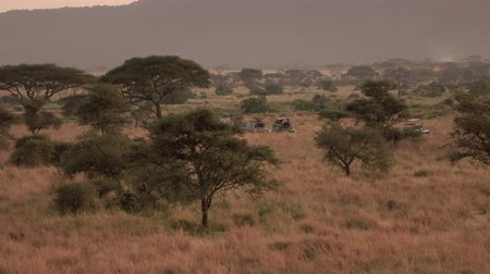 stopping : AERIAL: Safari all terrain jeeps on game drive stopping in lush savannah grassland woodland. Tourists observing beautiful green palms, dry tall grass and amazing acacia trees in wilderness at dawn Stock Footage