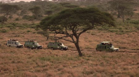 stopping : AERIAL: Safari jeeps on game drive standing in line on dirt road through African savanna grassland woodland. Tourists taking photos of lush palms, tall dry grass and amazing acacia trees in at dawn