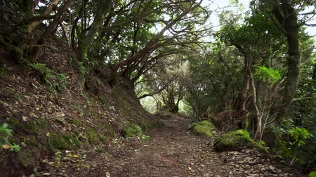 wooden path : Rainforest jungle path. Rainforest in anaga mountains, Tenerife, Canary islands, Spain.
