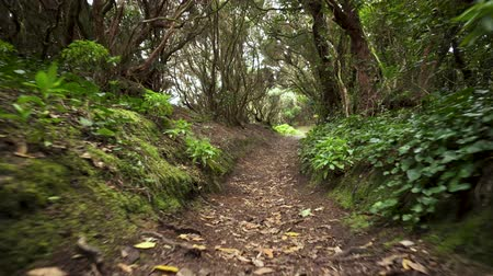laur : Rainforest jungle path. Rainforest in anaga mountains, Tenerife, Canary islands, Spain.