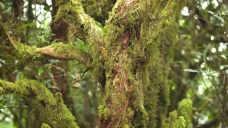 Close up. Laurel tree trunk covered by moss. Tropical rain forest in Tenerife, Canary islands.