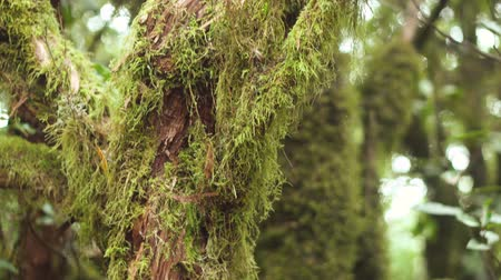 laur : Close up. Laurel tree trunk covered by moss. Tropical rain forest in Tenerife, Canary islands.