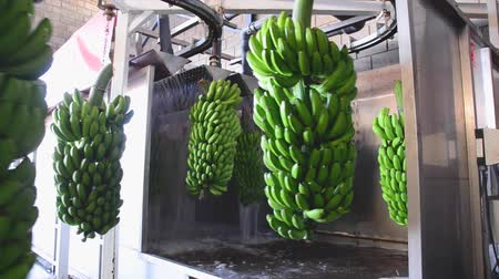 Bunches of banana hanging in a washing machine in food packaging industry.