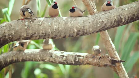 gałązki : Small Cute birds, finchs birds on the tree branch. Slow motion clip. Wideo