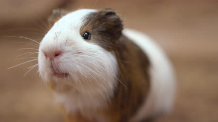 enclosure : Cute Guinea pigs (Cavia Porcellus). Close up cinematic 4k clip.