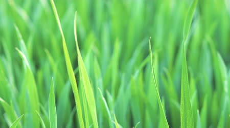 пробуждение : Close up of Grass gently Swaying in the Spring Breeze. Nature eco concept