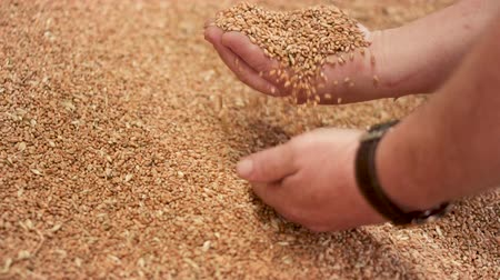 abundância : Slow motion close up shot of farmer hands holding wheat grains after good harvesting.