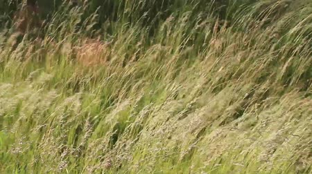 Tall Grass Blowing in the Wind with movement