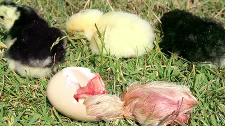 nascido : chick hatching in the meadow Stock Footage