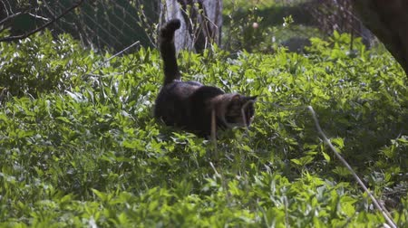 hides : Black white and orange cat hunting in grass. Super slow motion shooting on high-speed camera.