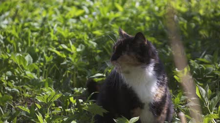 rhodes : Beautiful cute cat yawn in grass in forest. Slow motion shot on high-speed camera. Stock Footage