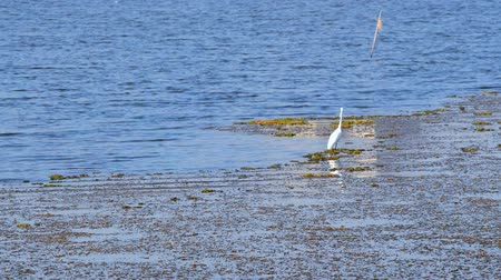 Great egret in the lake