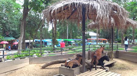 Chiang Mai, Thailand - July 1, 2018 : At Chiang Mai Zoo, the goat chewing something and relaxing under the umbrella. Стоковые видеозаписи
