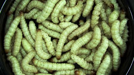 silkworm : Bamboo worm on black background, use as scary or Halloween background theme.