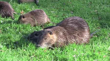 myocastor : young nutria and mother, beaverrat, coypu on a meadow eating Stock Footage