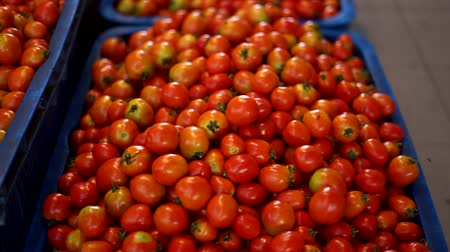 esparso : Group of red tomatoes in tray village market agriculture farm