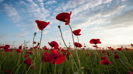 mák : time lapse of beautiful red poppies close-up , clouds and sky