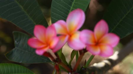 Beautiful pink Plumeria closeup Vídeos