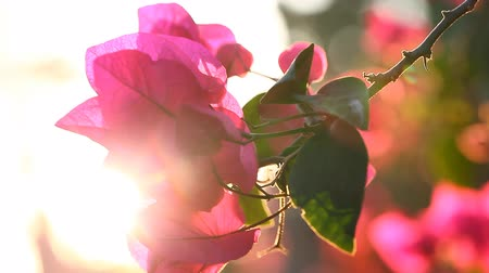 derű : The beauty of nature. Sunset and flowers. Bougainvillea flowers blossom with a warm summer sunset